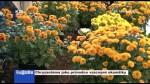 Chryzantéma jako průvodce vzácnými okamžiky